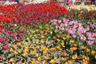 Тюльпаны в ботаническом саду