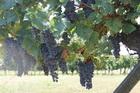 Виноград почти созрел