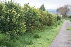 Созрели апельсины